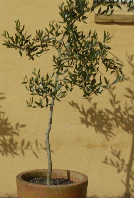 kan oliventræ tåle frost