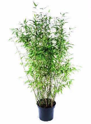bambus i krukker Bambus er tilbage   Home and Garden Amba bambus i krukker