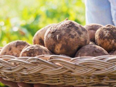 Læg kartofler til spiring