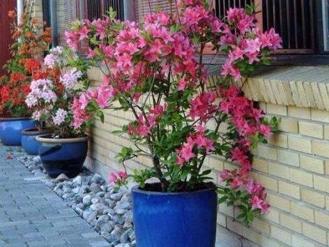 Der nemme Rhododendron - Home and Garden Amba