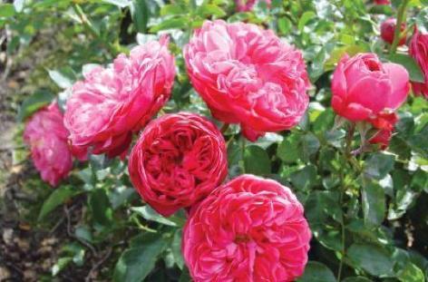 hvornår planter man roser