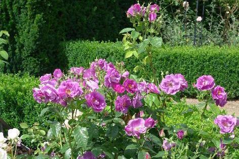 Havens roser - Plant og plej - Home and Garden Amba