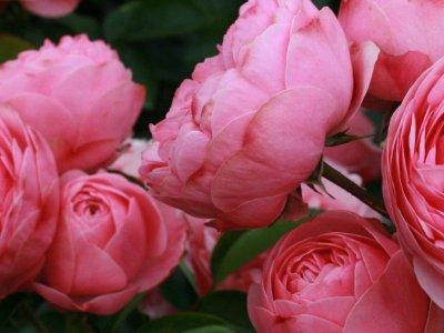 Bedst at plante roser nu