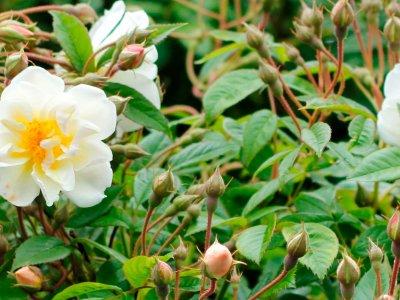 Havens roser - Plant og plej