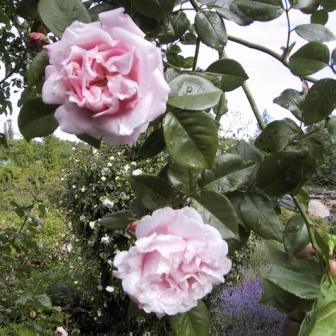 Roser som klatrer - Home and Garden Amba