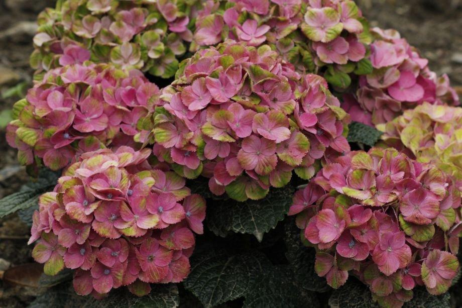 Beskæring af hortensia - Home and Garden Amba