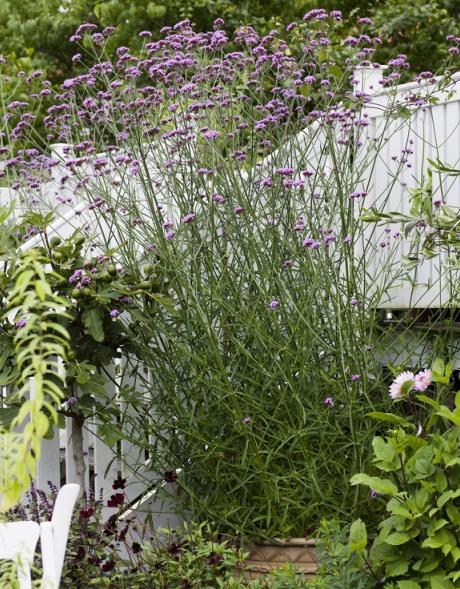 Kæmpeverbena   home & garden