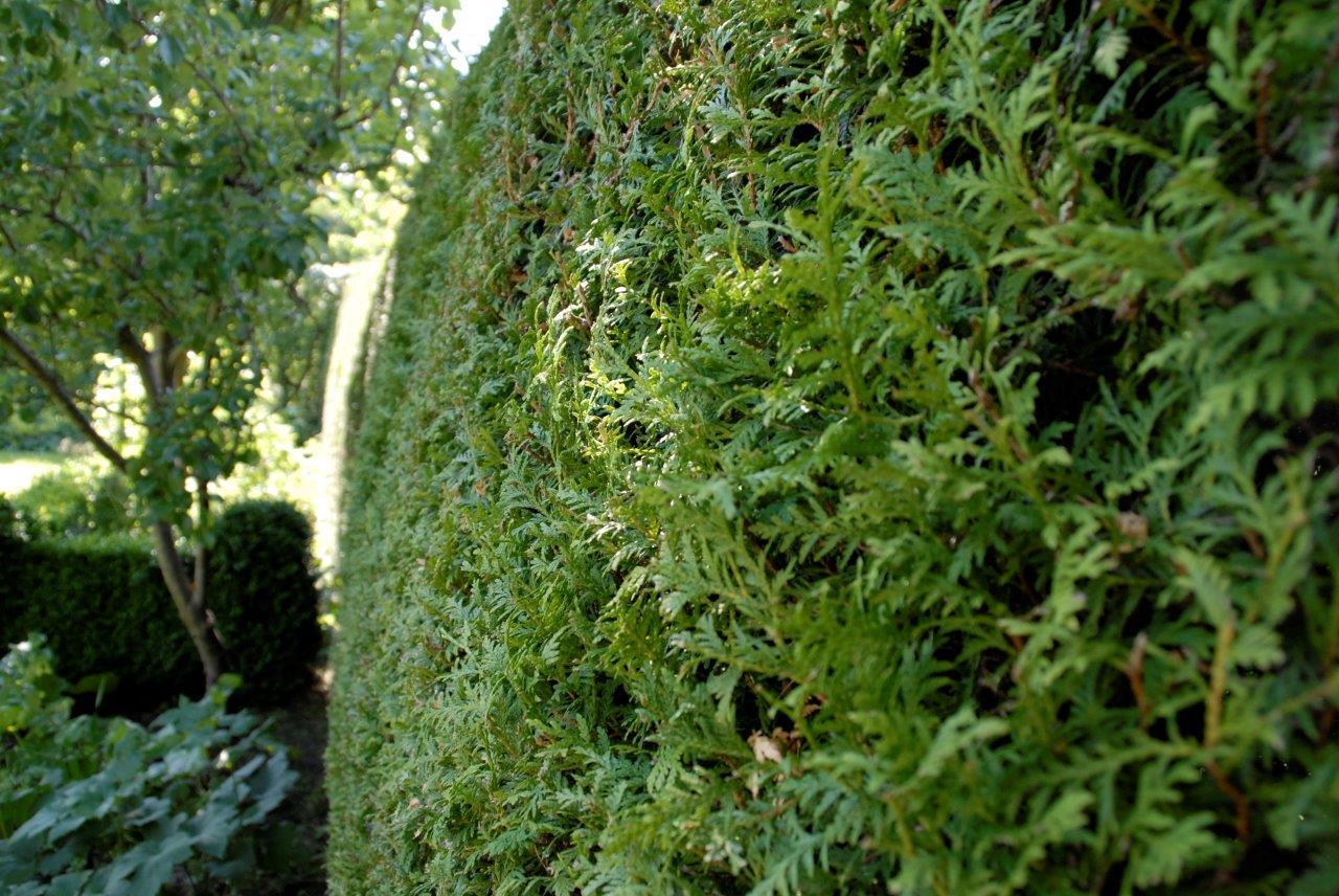 Stedsegrøn hæk dækker hele året - Planteskole-Ringen