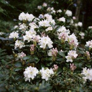 Surbundsplanter eller Rhododendron