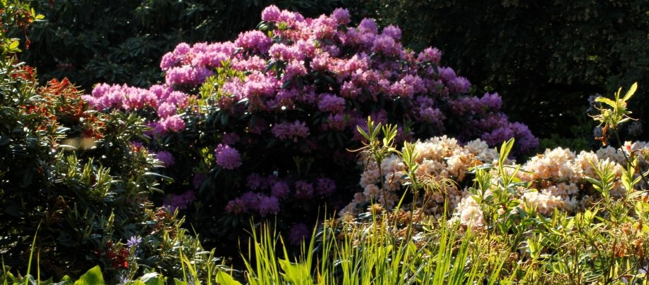 Rhododendron - Home and Garden Amba