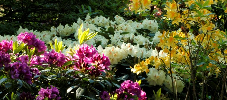 Rhododendron lægen - Home and Garden Amba
