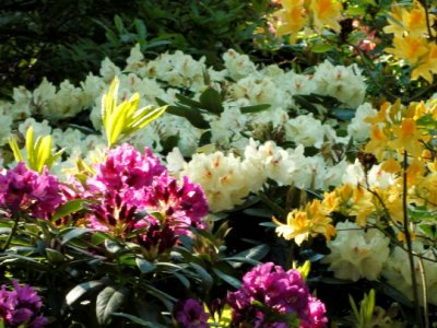 Rhododendron lægen