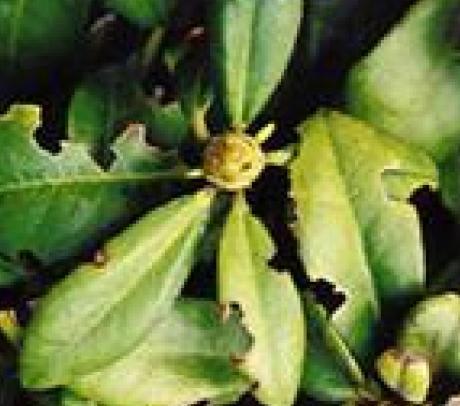 Rhododendron lægen   home & garden