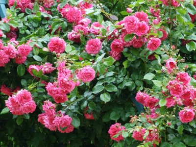 Rosensorter, inspiration til valg