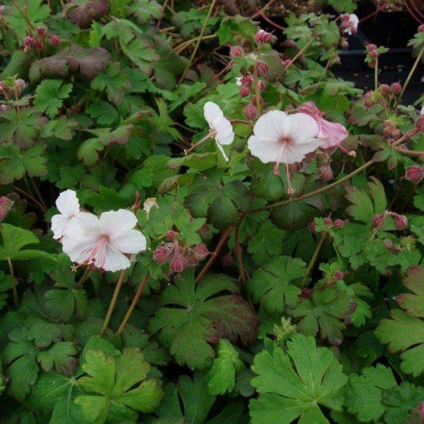 geranium macrorrhizum 39 spessart 39 stauder home and garden amba. Black Bedroom Furniture Sets. Home Design Ideas