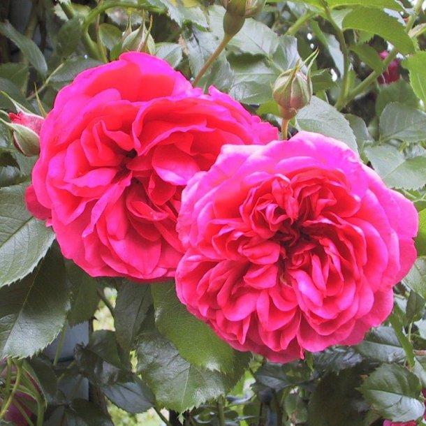 rose 39 rosarium uetersen 39 roser home and garden amba. Black Bedroom Furniture Sets. Home Design Ideas