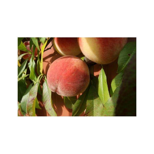 Prunus persica 'Thorseng'