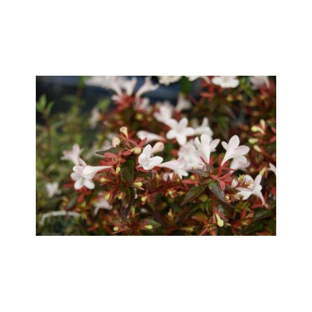 Abelia Grandiflora Prostrata Buske Home Garden Amba