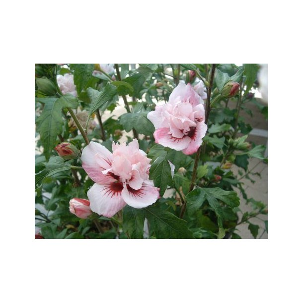 hibiscus syriacus 39 lady stanley 39 buske home and garden. Black Bedroom Furniture Sets. Home Design Ideas
