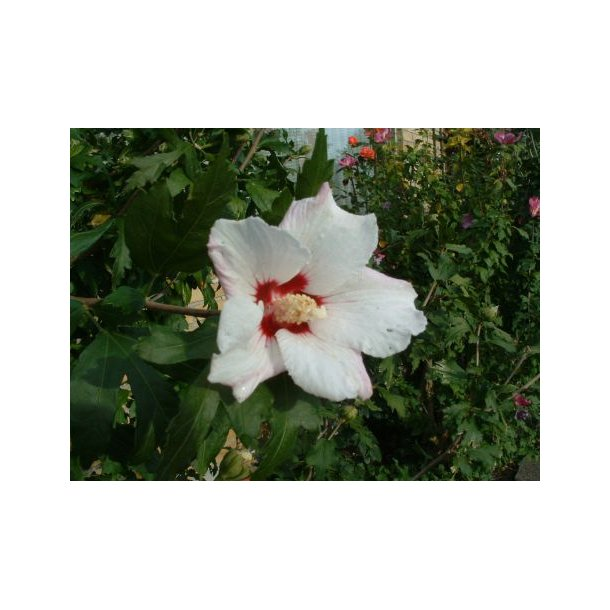 hibiscus syriacus 39 red heart 39 buske home and garden amba. Black Bedroom Furniture Sets. Home Design Ideas