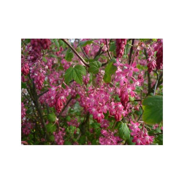Ribes sanguineum 'Koja'
