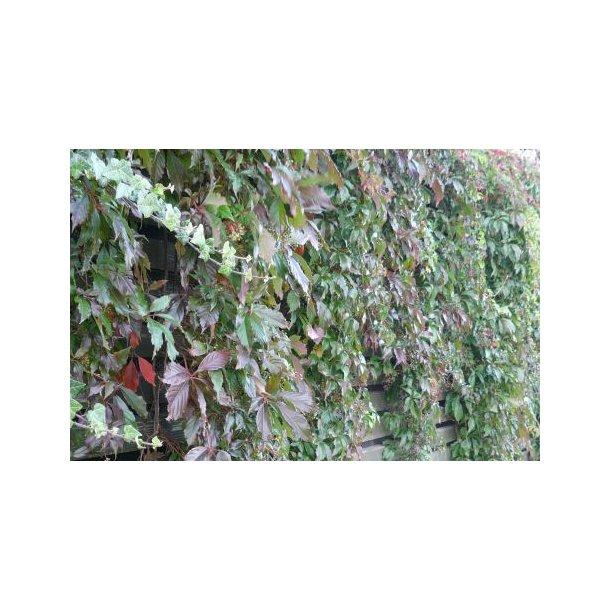 Parthenocissus quiquefolia var engelmannii