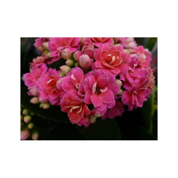 Kalanchoe blossfeldiana `Calandiva´