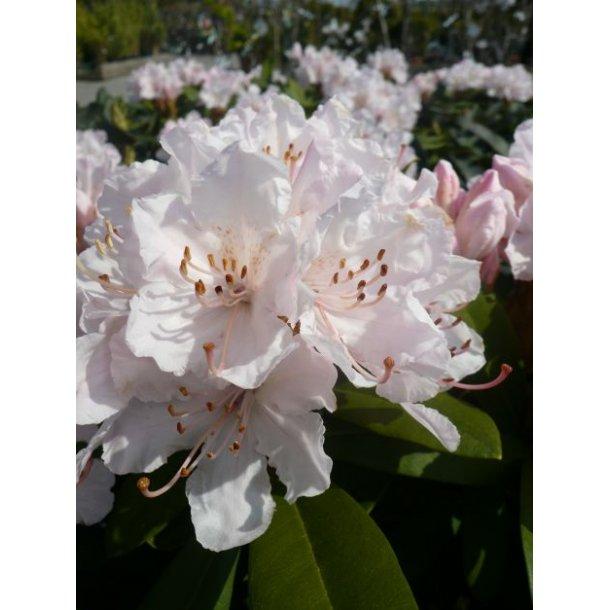 Rhododendron caucasicum 'Jacksonii' - Surbundsplanter - Home and Garden Amba