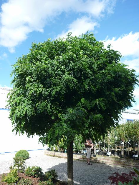 Skønne træer til små haver - Home and Garden Amba