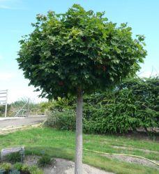 Skønne træer til små haver - Home & Garden