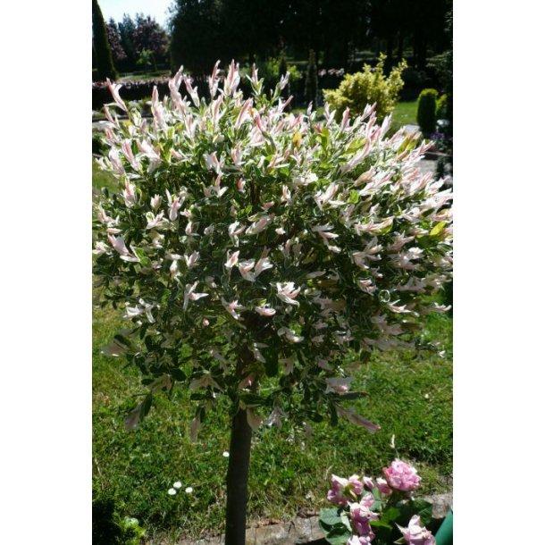 Salix integra 39 hakuro nishiki 39 buske home and garden amba - Salix hakuro nishiki taille ...