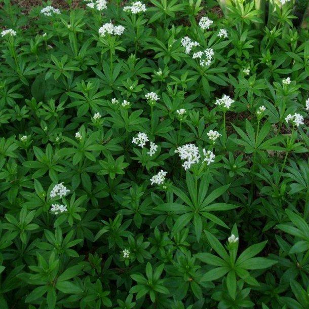 Galium odoratum (Asperula)