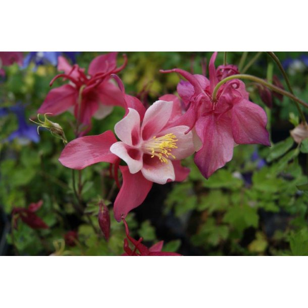Aquilegia 'Spring Magic Rosa White'
