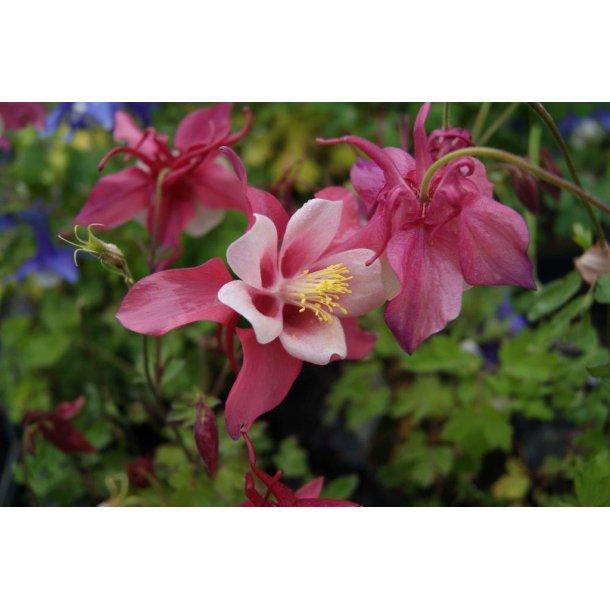 Aquilegia 'Spring Magic Rosa White'