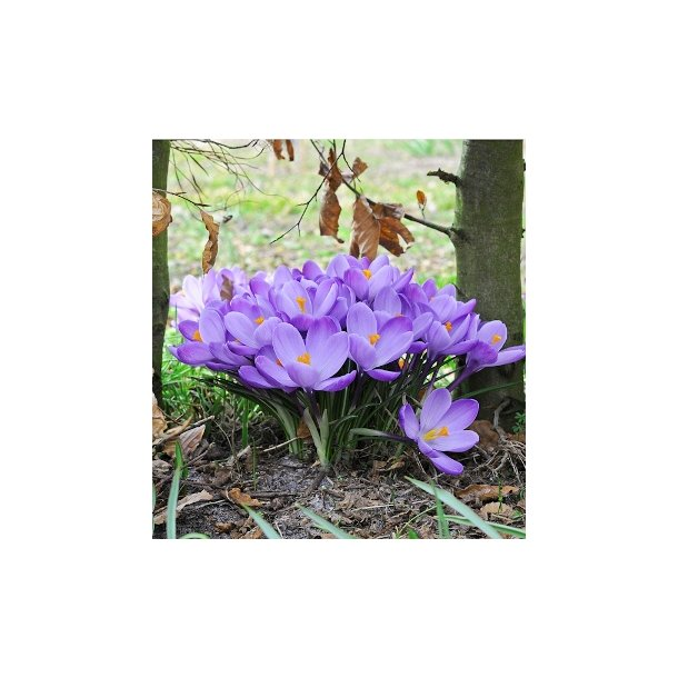 Crocus 'Grand Maitre'